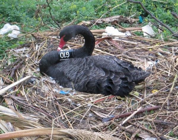 black swan G10