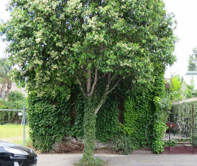 Creepers are growing like hipster beards on some houses in Port Melbourne