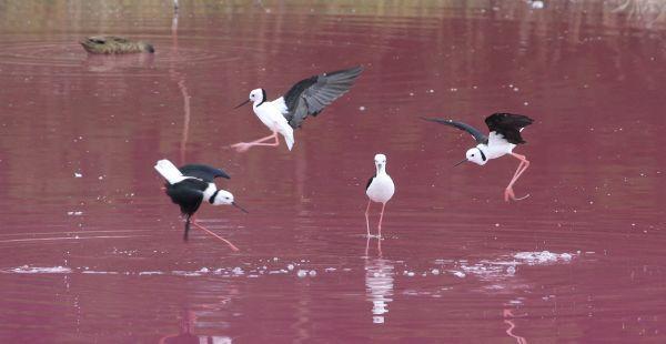 1-Stilts dancing in pink lake iv