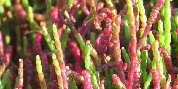 1-beaded glasswort profile iv
