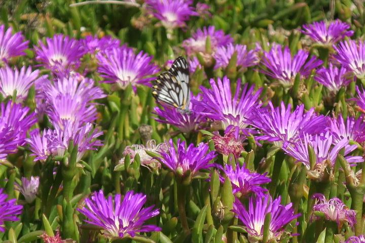 butterflies-w