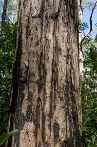 turpentine bark